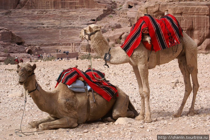 Два верблюда у амфитеатра