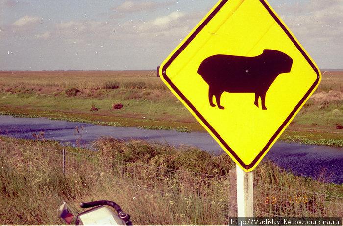 «Осторожно, капибара!» Самые большие грызуны в мире на заднем плане.