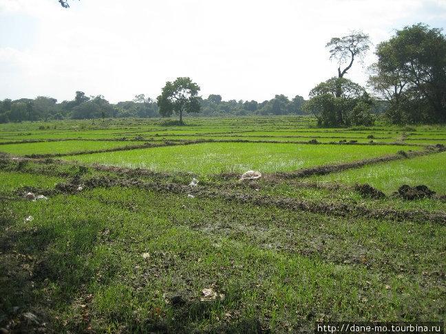 Рисовые поля вдоль трассы