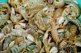 Это не обычные креветки!Внешне они очень похожи, но это не креветки. Это что-то другое. Они нервно перебирают в воздухе своими острыми лапками. Тазик, где находится эта живность, издает скрежет и писк