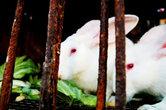 Кролики выглядят поразительно безмятежно. Они сидят в своих клетках и продолжают грызть капусту. Кролики глупые. Мне кажется, они не догадываются.