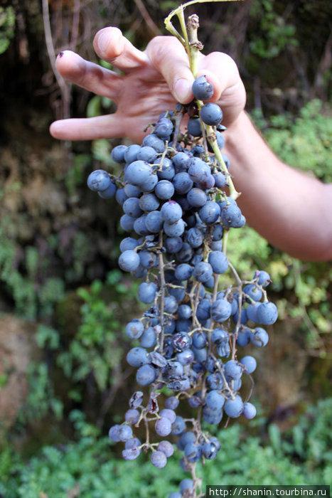 Виноград созрел и даже перезрел