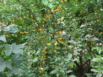 Таких деревьев, полных зрелых ягод, в городе много. Они растут вдоль улиц, у крепостных стен, за монастырем, на обочинах дорог, и вообще, где придется. Свежие, сочные, сладкие, с небольшой кислинкой, плоды могут утолить и жажду, и голод...