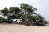 Дерево жизни — гигантская акация посреди пустыни, неизвестно откуда берущая воду