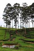Эвкалиптовая роща на чайной плантации