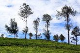 Деревья посреди чайных кустов