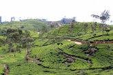 Все холмы засажены чаем