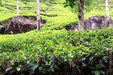 Чайная плантация возле Пика Адама