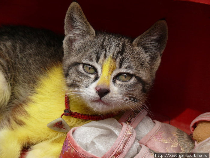 Котёнок, которому дурно от краски, которой он нализался. Кошек нельзя красить ни в коем случае.