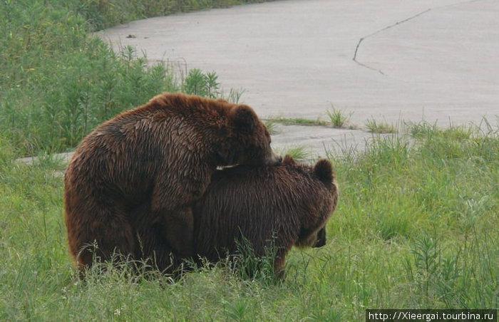 И увидеть в живую интимную жизнь медведей