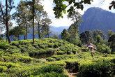 Чайные кусты и деревья