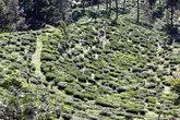 Чайная плантация — вид сверху
