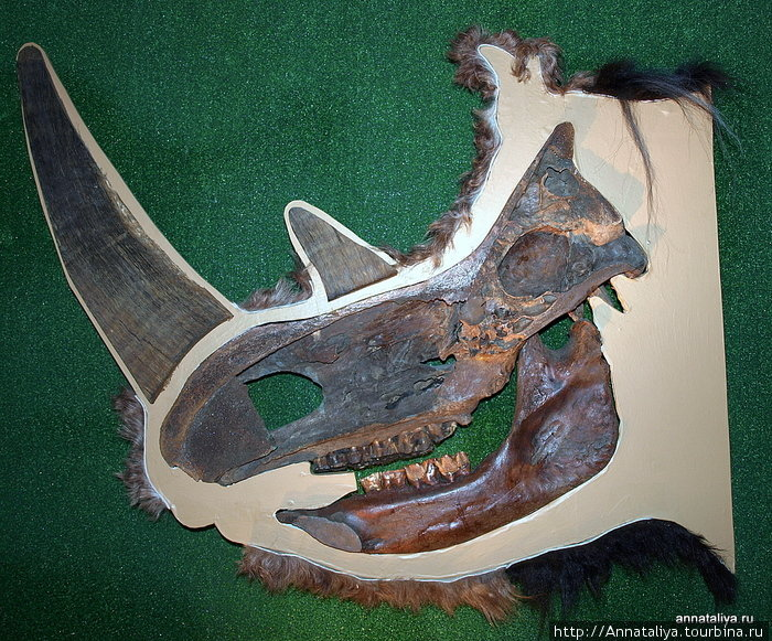 На этом фото показан череп носорога в разрезе. Коричневая полость под двумя рогами сразу — это его ноздря. А в небольшой