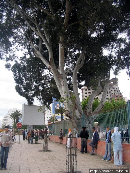 Танжерские деревца