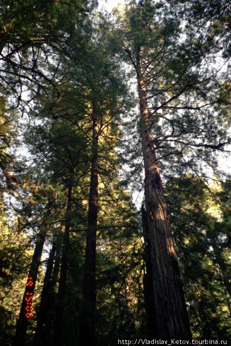Самые высокие деревья на Земле — секвойи