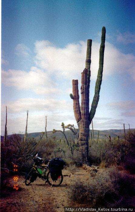 Кактусы на территории Мексики встречаются самые разные и в огромных количествах