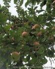 Антон Павлович  считал яблоки очень полезными. Он сам сажал сад.