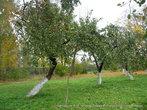 Конечно, тех  яблонь уже не осталось, но сотрудники музея сохраняют старые сорта, ухаживают за садом.