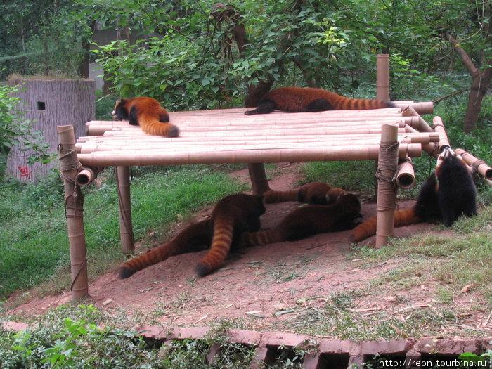 Красные панды залегают :)
