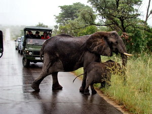 Мужские и женские особи имеет бивни. У взрослых слонов, бивни весят от 50 до 60 кг, но бывают и 90 кг. Сила величественного животного, огромный размер и высота всегда захватывали воображение человека.
