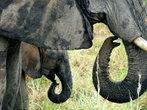 У слонов продолжительность жизни от 60 до 70 лет. Некоторые особенности слонов очень напоминают человека, а именно, они помнят предыдущий опыт и способны использовать эти знания.