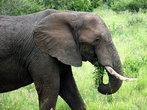 В семействе слонов — матриархат. Крупная самка беспокоится и защищает свое семейство. Взрослые слоны обычно путешествуют одни или в маленьких группах. Самки производят потомство каждые 3-4 года.