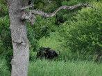 Не стоит недооценивать буйвола, считая его коровой, многих охотников постигли смертные случаи, потому что они недооценили это мощное животное.