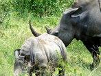 Белый носорог — самое большое млекопитающее земли после слона. Это — животное с доисторических времен практически не изменилось, миллионы лет назад, оно уже бродило по суше.
