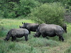 И черные и белые носороги издают похожие звуки. Они ревут, фыркают, хрюкают, вопят когда испуганы и могут также рычать.