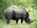 Носороги, подобно большинству толстокожих, любят валяться в грязных водоемах, т.к. грязь сохраняет кожу в прохладе и защищает от паразитов.
