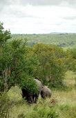 Во время самых засушливых перодов они ищут защиту под деревьями и высокими кустарниками. Южноафриканские власти борятся с браконьерами, пытаясь сохранить носорогов от истребления.