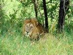 Львы —  охотники, убивают и питаются любыми животными. Его добыча — главным образом импалы, зебры, антилопы, но может охотиться и на более опасных животных — буйволы, гиппопотамы, жирафы и носороги.