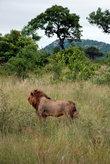 Львы, как и все из семейства кошачих — метят свою территорию. Львы показывают свою агрессию, скаля зубы, и дергая хвостом. Любому, встретившему льва в таком настроении, лучше ретироваться.