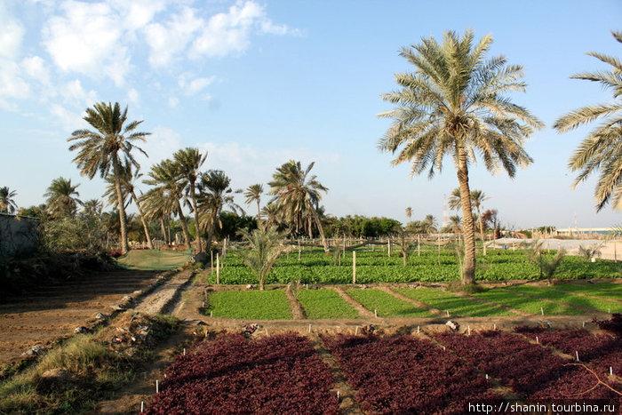 Огород и пальмы