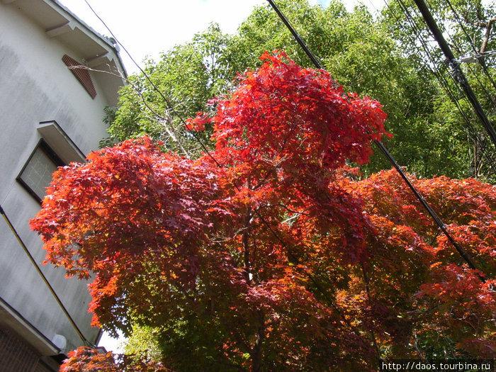 Это клёны (момидзи) ка которые ходят смотреть осенью вместо сакуры
