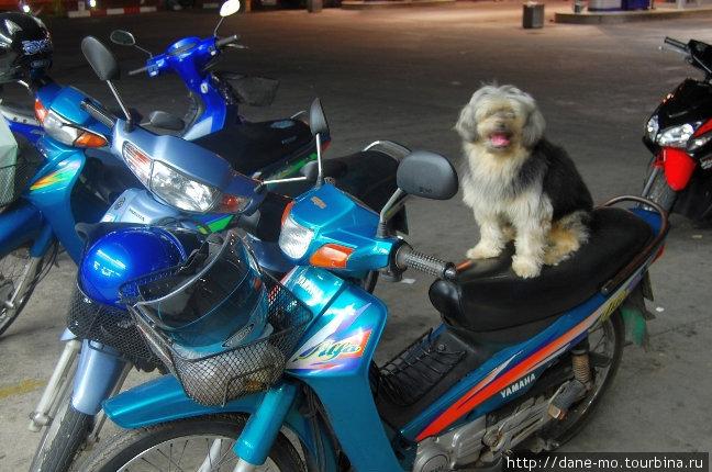 Тайский пес на мотоцикле