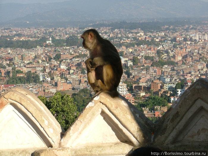Мы снова вернулись в Катманду. Вид на город из храма обезьян. А вот и одна из его хозяек — священное животное.