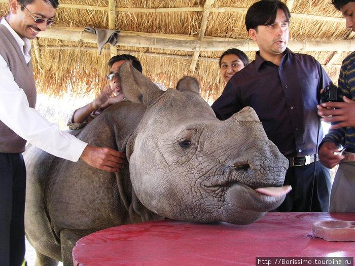 А вот этот детёныш носорога пришёл к нам знакомиться в кафе.