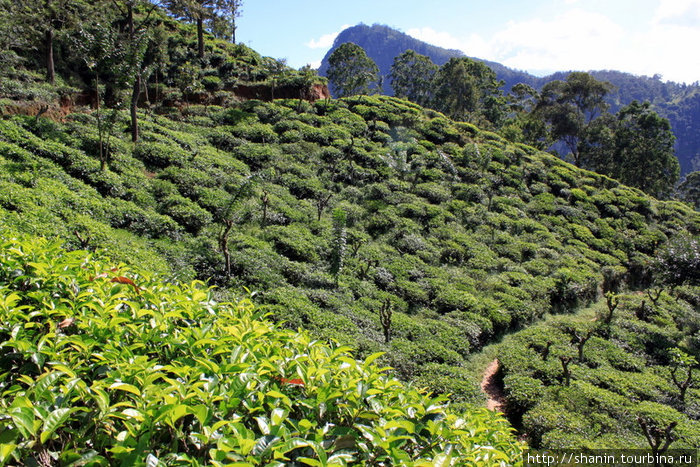 Чайная плантация на пути к Малому пику Адам а