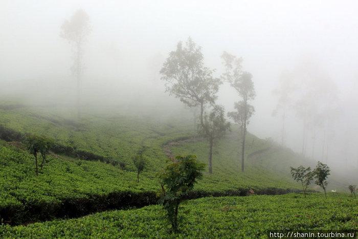 Чайная плантация в тумане