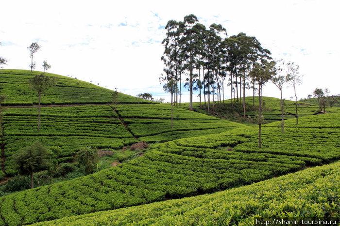 Деревья на чайной плантации