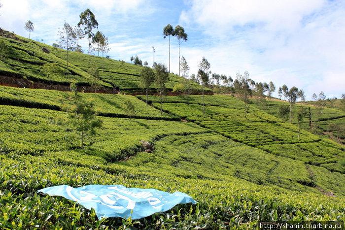 Чайная плантация и флаг