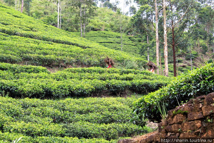 Чайная плантация у основания пика Адама