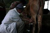 Учусь доить корову