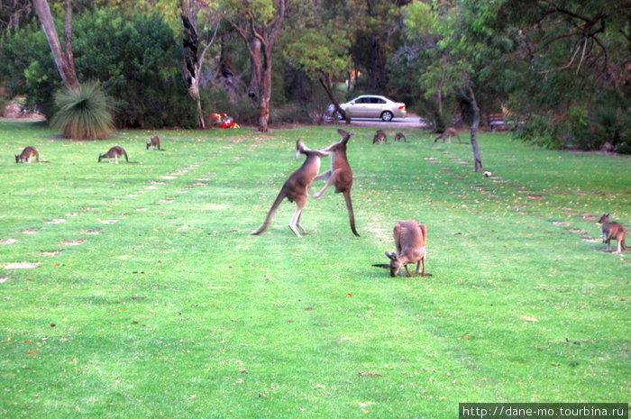 Напротив из машины люди тоже наблюдали за разборками кенгуру