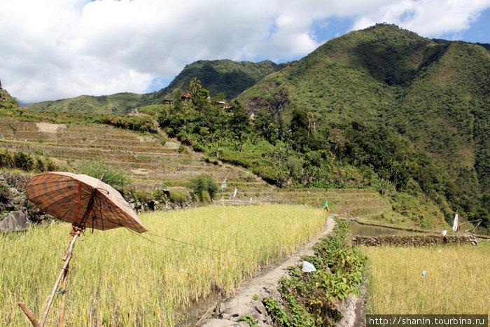 Зонтик и делянка спелого риса