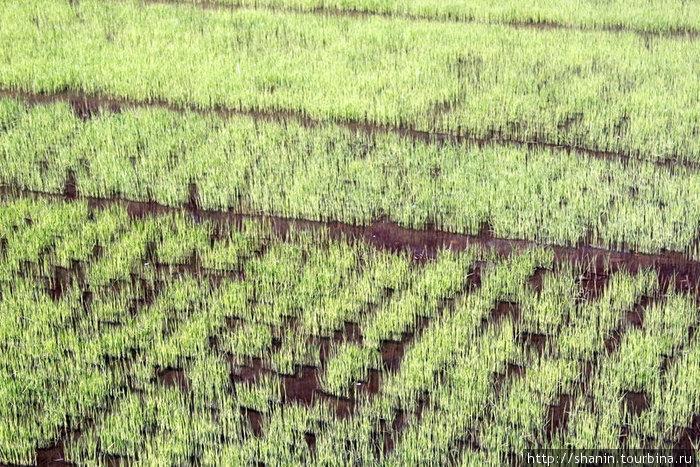 Зеленеющие побеги риса