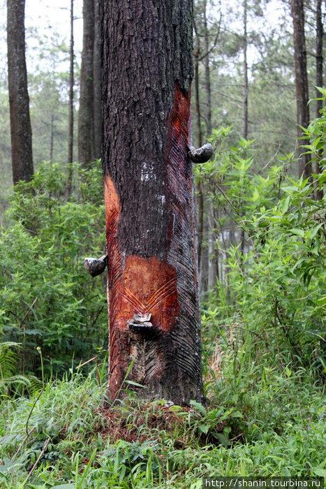 В сосновом лесу собирают сосновый сок?