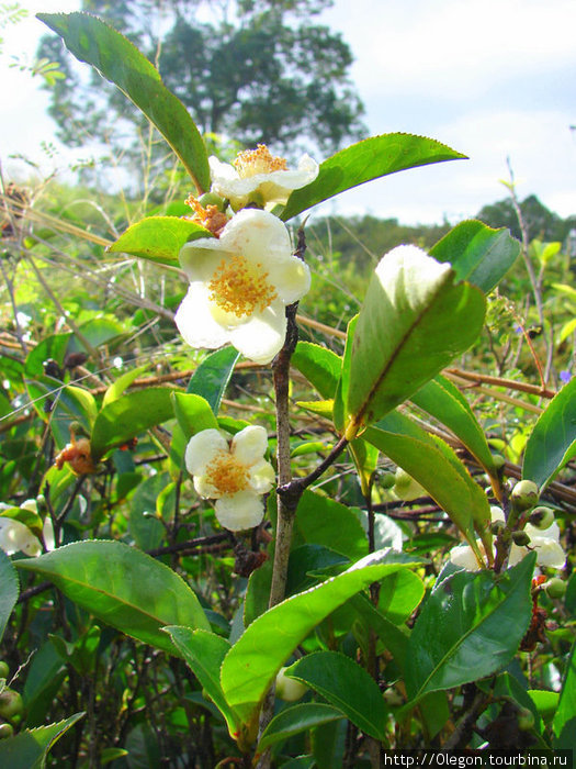 Как цветет чай