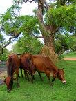 Коровы и термиты тоже не домашние, гуляют сами по себе